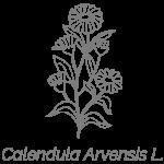 Illustrazione Calendula Arvensis L. | Déco bio