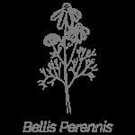 Illustrazione Bellis Perennis | Déco bio