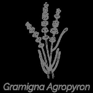 Illustrazione Gramigna Agropyron | Deco bio