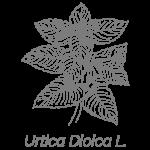Illustrazione Urtica Dioica L. | Déco bio