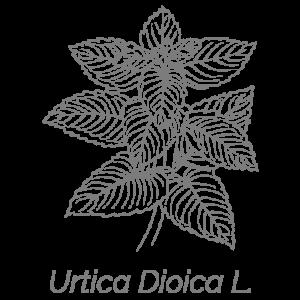 Illustrazione Urtica Dioica L. | Deco bio