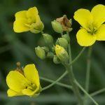 Pianta Diplotaxis Tenuifolia | Déco bio