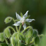 Pianta Borago Officinalis L. | Déco bio