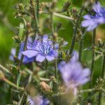 Pianta Cichorium intybus | Déco bio
