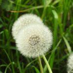 Pianta Dandelion | Déco bio