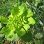 Pianta Euphorbia Helioscopia | Déco bio