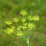Pianta Foeniculum Vulgare | Déco bio