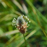 Pianta Plantago Lanceolata | Déco bio