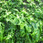 Pianta Lactuca Serriola | Déco bio