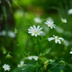 Pianta Stellaria Media | Déco bio