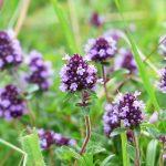 Pianta Thymus Serpyllum | Déco bio